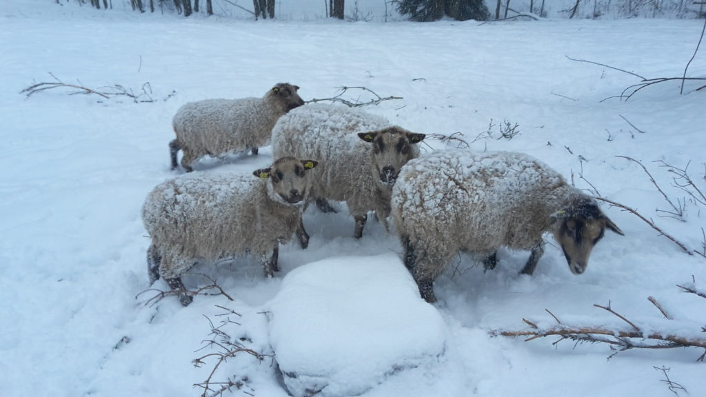 Shetlanďáci sněhuláci